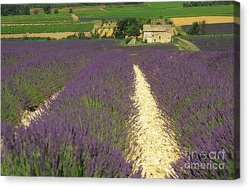 Field Of Lavender. Drome Canvas Print by Bernard Jaubert