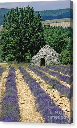 Field Of Lavender. Sault Canvas Print by Bernard Jaubert