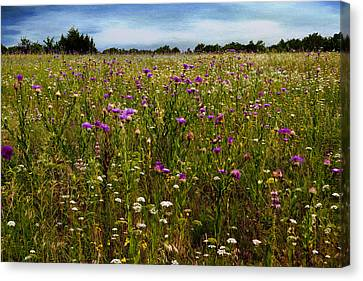 Field Of Thistles Canvas Print by Tamyra Ayles