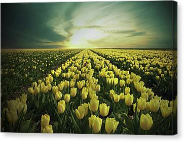 Field Of Yellow Tulips Canvas Print by Maik Keizer