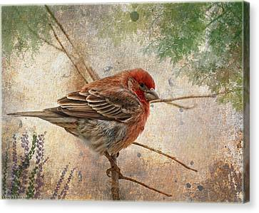 Finch Art Or Greeting Card Blank Canvas Print by Debbie Portwood