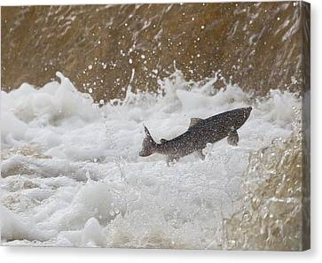 Fish Jumping Upstream In The Water Canvas Print by John Short