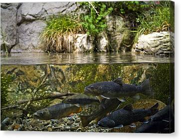 Fish Swimming In An Aquarium Canvas Print by Todd Gipstein