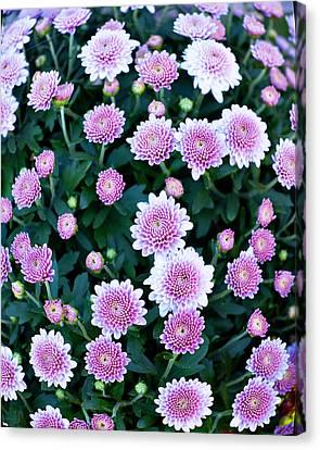 Fisheye Of Pink Flowers Canvas Print by Malania Hammer