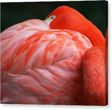 Flamingo Taking A Snooze Canvas Print by Kathy Clark