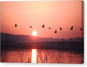 Flock Of Canada Geese Flying Canvas Print by Ira Block