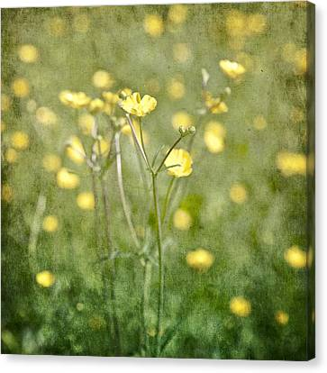 Flower Of A Buttercup In A Sea Of Yellow Flowers Canvas Print by Joana Kruse