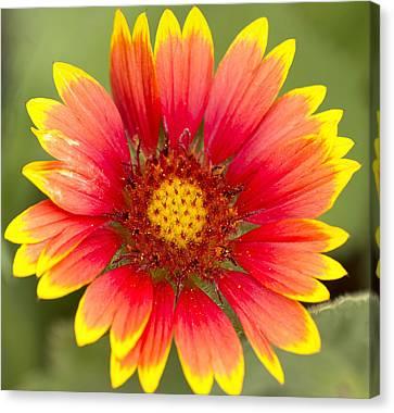 Flower Power Canvas Print by Daphne Sampson
