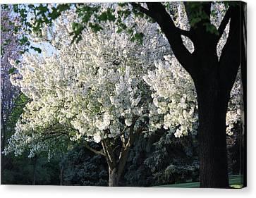 Flowering Springtime Tree Canvas Print by James Hammen