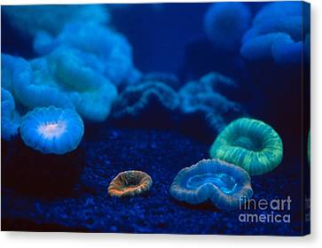 Fluorescent Corals Canvas Print by Kjell B Sandved and Photo Researchers