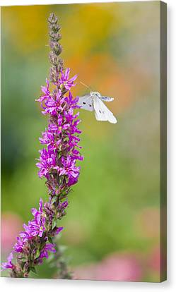 Flying Butterfly Canvas Print by Melanie Viola