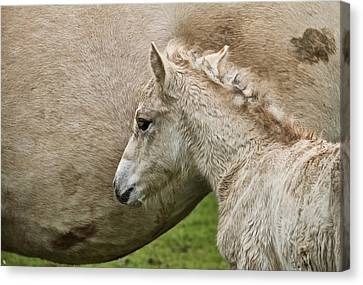 Foal Canvas Print by Odd Jeppesen