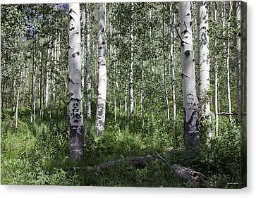 Forever Aspen Trees Canvas Print by Madeline Ellis