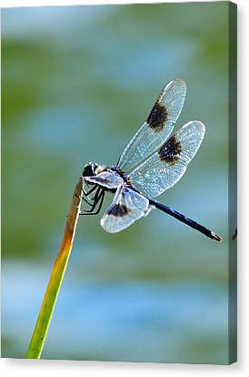 Four Spotted Pennant  Canvas Print by Melanie Moraga