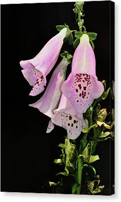 Fox Glove Bells Canvas Print by Bill Cannon