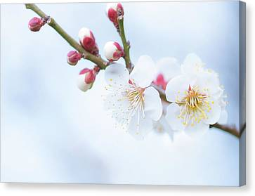 Fresh Plum Canvas Print by Yuji Takahashi