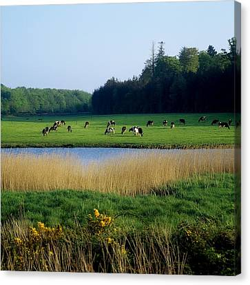 Friesian Cattle, Near Cobh, Co Cork Canvas Print by The Irish Image Collection
