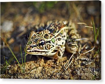 Frog Canvas Print by Elena Elisseeva
