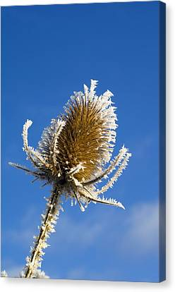 Frost-covered Teasel (dipsacus Fullonum) Canvas Print by Duncan Shaw