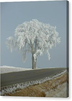 Frost On The Big Tree  Canvas Print by Penny Meyers