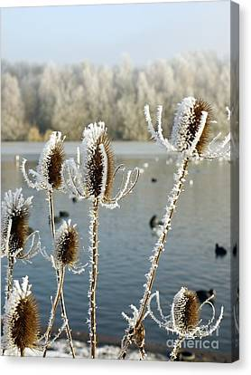 Frosty Teasel Canvas Print by John Chatterley
