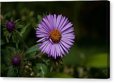 Full Aster Canvas Print by Jessica Lowell