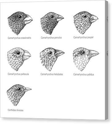 Galapagos Finches, Artwork Canvas Print by Gary Hincks