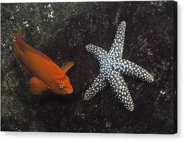 Garibaldi With Starfish Underwater Canvas Print by Flip Nicklin