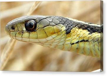 Garter Snake Macro Canvas Print by Griffin Harris