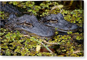 Gator Babies Canvas Print by Andres Leon
