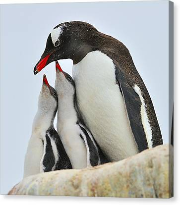 Gentoo Feeding Time Canvas Print by Tony Beck