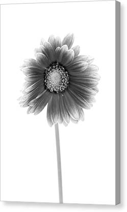 Gerbera In Black And White Canvas Print by Sebastian Musial