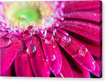 Gerbera Rain Droplets Canvas Print by Michelle McMahon