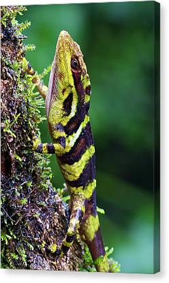 Giant Anole Dactyloa Microtus Male Canvas Print by James Christensen