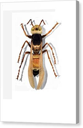 Giant Asian Hornet Canvas Print by Inger Hutton