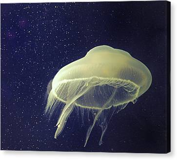 Giant Jelly Fish With Eggs That Look Like Stars Canvas Print by Pete Foley