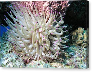 Giant Sea Anemone On Reef In Cozumel Canvas Print by Karen Doody