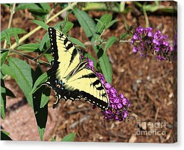 Giant Swallowtail Butterfly Canvas Print by Theresa Willingham