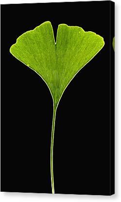 Ginkgo Leaf Canvas Print by Piotr Naskrecki