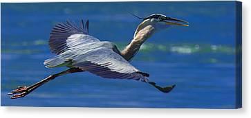 Gliding Great Blue Heron Canvas Print by Sebastian Musial