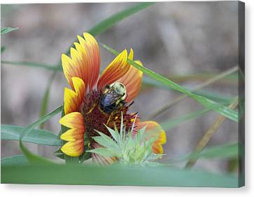 Glory Bumblebee Canvas Print by Michel DesRoches