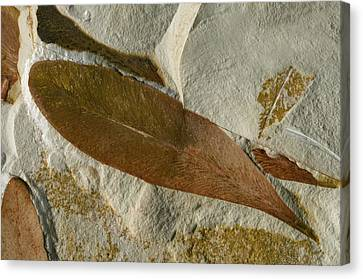 Glossopteris Leaf Fossils Canvas Print by Sinclair Stammers