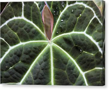 Glowing Leaf Canvas Print by Rosalie Scanlon