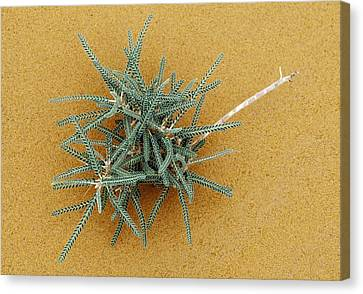 Goat's-thorn (astragalus Gombo) Canvas Print by Dirk Wiersma