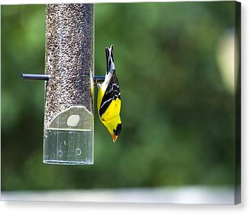 Gold Finch Canvas Print by Richard Lee