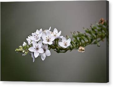 Gooseneck Loosestrife II Canvas Print by Michael Friedman