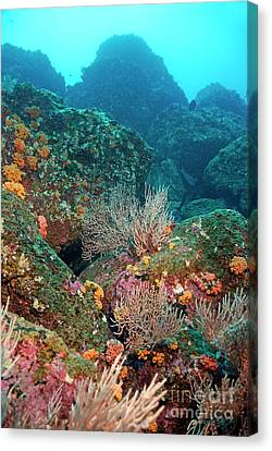 Gorgonian Fans And Cup Coral On Rocky Seabed Canvas Print by Sami Sarkis