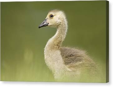 Gosling Canvas Print by Lisa Franceski Wildlife Photography