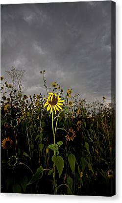Goth Sunflower Canvas Print by Peter Tellone