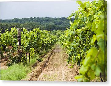 Grape Vines At Fall Creek Vineyards Canvas Print by James Forte